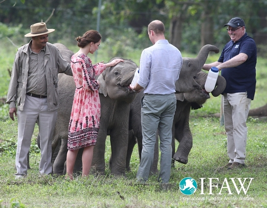 Prince William and Princess Kate bottle fed orphaned elephant calves and baby rhinos at IFAW/WTI's animal rescue center in Kaziranga, India