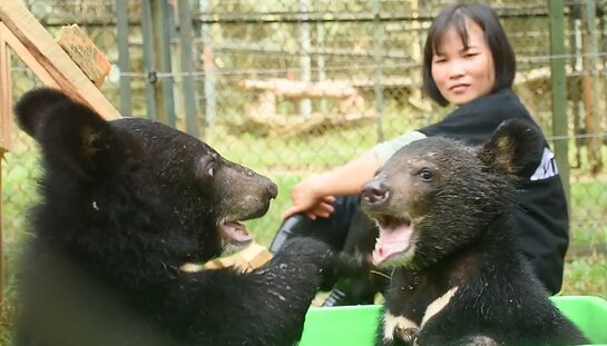 The two rescued bear cubs at the Animals Asia sanctuary in Tam Dao, Vietnam