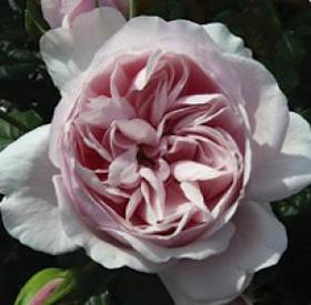 Natasha Richardson Rose