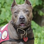 Pit Bull Named American Hero Dog At Star-Studded Event