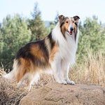 Lassie Named As Save The Children Campaign Ambassador