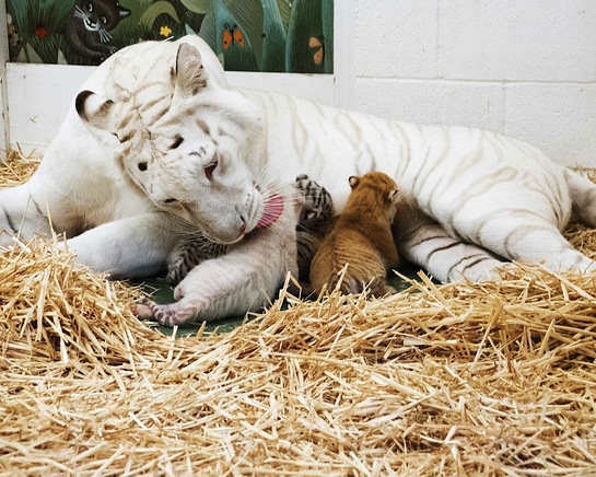 Siegfried & Roy's SARMOTI cubs with their mother, Indira