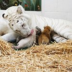 Siegfried & Roy Introduce New Tiger Cubs As Ambassadors Of Conservation